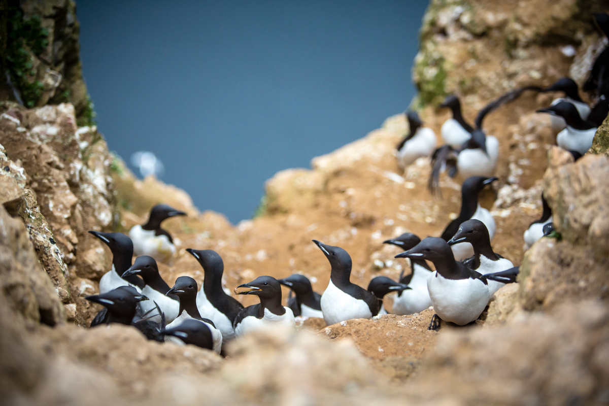 Brunich's Guillemot at Bear Island
