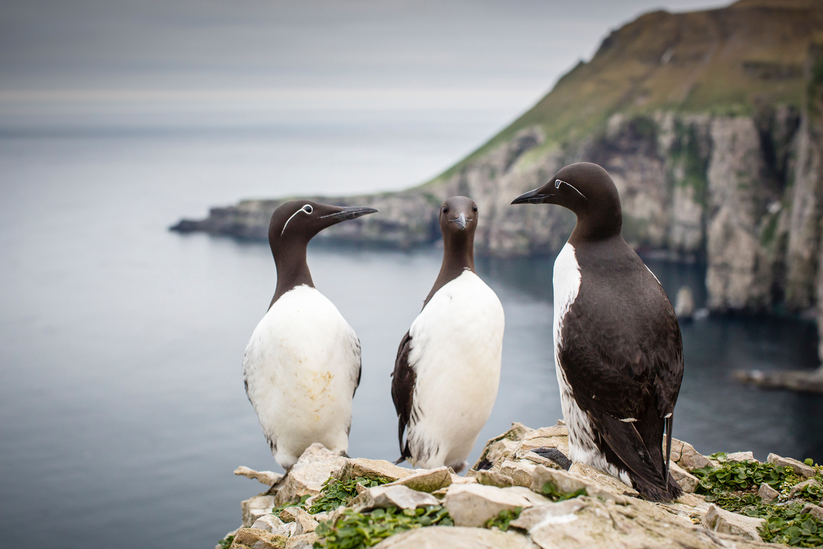 Guillemots at Bear Island